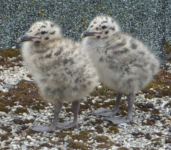 They are cute now, but... (Patricia (aka look lovely)) Tags: cute gulls fluffy chicks onephotoweeklycontest 525of2010 onephotoweeklycontestwinner themepairs