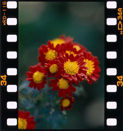november kiku  memoirs of the film age  here is a kiku  florists daisy shot