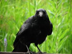 er whlte in den Mlltonnen (   flickrsprotte  ) Tags: animals juni canon schwarz tier vogel rabe