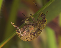 "Weevil(4) • <a style=""font-size:0.8em;"" href=""http://www.flickr.com/photos/57024565@N00/531653878/"" target=""_blank"">View on Flickr</a>"