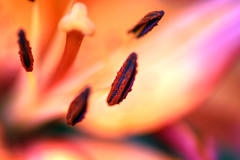 Lively Lily (Creativity+ Timothy K Hamilton) Tags: pink orange flower saint garden botanical one louis saturated lily shot hamilton stlouis peach pistil petal missouri stamen timothy stl hdr excellence mobot fertile tkh timothykhamilton tiossealofapproval del10sav1