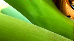 Green (Barefoot In Florida) Tags: green florida philodendron