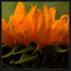 SunFlames (Kirsten M Lentoft) Tags: orange flower topc25 closeup petals searchthebest sunflower coolest naturesfinest blueribbonwinner masterphotos 250v10f abigfave 070707 impressedbeauty momse2600 kirstenmlentoft