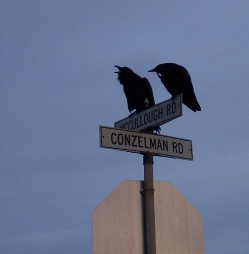 Common Ravens, talking and scratching