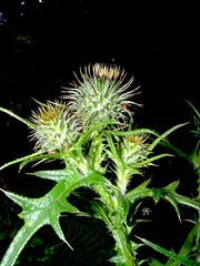 cirse des champs / thistle / cirsium arvense - by OliBac