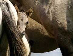 Family Protection (Astrid van Wesenbeeck photography) Tags: family horses netherlands wildlife naturereserve protection wildhorses paarden foal oostvaardersplassen konikhorses konikpaarden