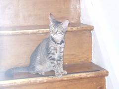 DSCF0806 (fadingembers) Tags: animals kitties bruiser bigpurplehouse