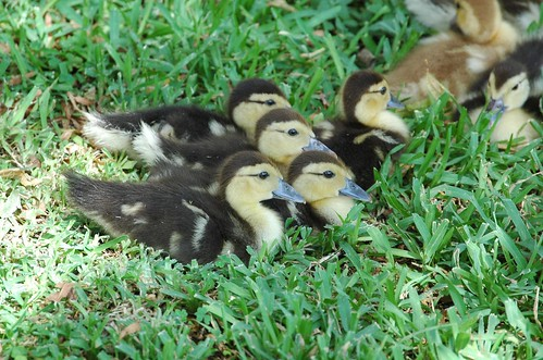 Muscovy ducklings gathered in the shade