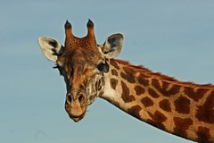 Heads Up---Tongue's Out !!! (Picture Taker 2) Tags: africa cute nature beautiful animals closeup outdoors colorful pretty native wildlife giraffe curious wilderness plains upclose exciting wildanimals lakenakuru africaanimals specanimal