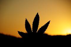 Amanhã vai ser outro dia (chicow) Tags: brazil brasil march vitória fantasia marijuana cannabis espiritosanto legalizeit marijuanna intervenção cannabissativa legaliza cannabisindica marchadamaconha marchadamaconhavitória marijuannamarch