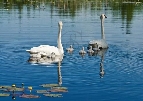 Orillia - Trumpeter Swan Family (2008)