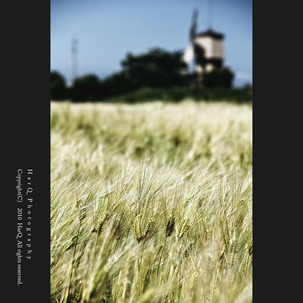Blue Wheat *
