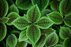 Oh my god, it's green! (CoooooooooooooooO) Tags: plant green intense pflanze grn blatt vignette intensiv masoalahall cmwd cmwdgreen