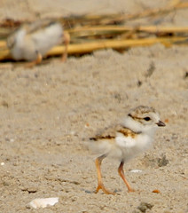 Piping Plover chicks (auburnxc) Tags: baby water animals newjersey spring sand dof may nj chick chicks capemay apc pipingplover eastcoast 2010 atlanticcoast charadriusmelodus pipingploverchick auburnphotographyclub may302010