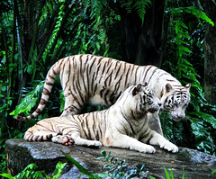 White Tigers (` Toshio ') Tags: white green animal standing forest cat asian mammal zoo paw rainforest singapore asia stripes tiger bigcat roar whitetiger laying singaporezoo toshio