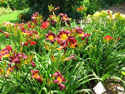 more daylilies