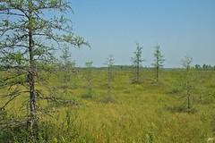 Mlze laricin / Tamarack (alain.maire) Tags: nature landscape paysage bog tamarack pinaceae larixlaricina tourbire mlzelaricin