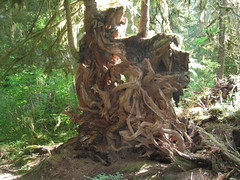 Roots Of Fallen Tree (Ryan Hadley) Tags: trees usa nature forest washington nationalpark rainforest hiking roots worldheritagesite gnarly olympic olympicnationalpark temperaterainforest quinaultrainforest irelylake