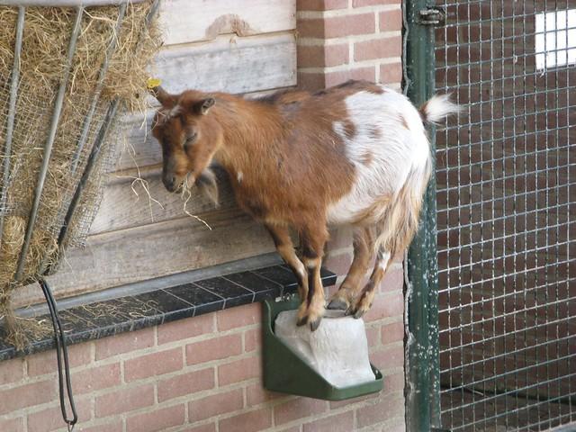 Goat forbid
