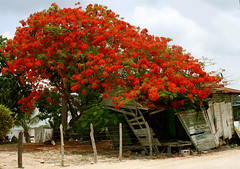 Blooming (Michelle Brea) Tags: flowers red house tree art beach photography moments dominican photographer artistic dominicanrepublic dr bloom dominicana fotografia shambles capture destroyed rd feelings artista santodomingo bayahibe supershot framboyan abigfave anawesomeshot impressedbeauty michellebrea