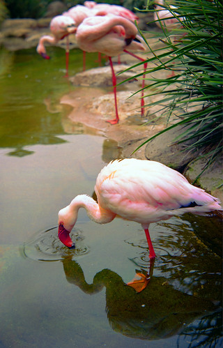 One very grumpy flamingo -- medium flamingo san sandiego california world moskva seaworld diego sea one grumpy