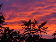 Buddleia at sunset (sam2cents) Tags: flowers sunset sky cloud colour nature garden glow shrub buddleiadavidii abigfave panasoniclumixdmclz3