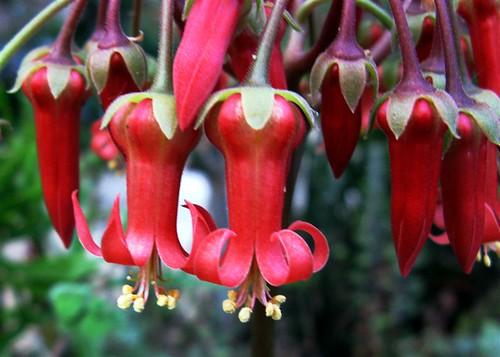 Cotyledon orbiculata (Dog's Ears)