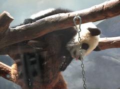 Blllltthhh I am not coming down (Pandora_60) Tags: elephants zooatlanta pandas lunlun yangyang tamarins meilan