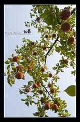 200810_hirosaki_069_f_s (C_C_C) Tags: tree apple japan hirosaki