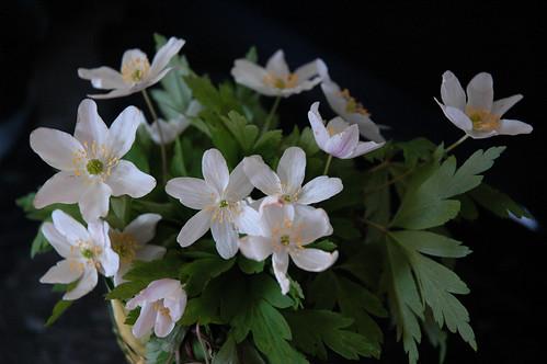 spring flowers :: hvitveis