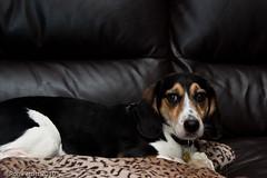 The Boss (rpimages.com) Tags: dog pet beagle hound roscoe pentaxk100ds ronpetitt
