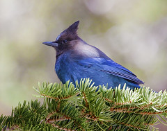 Stellar Jay (Forget Me Knott Photography) Tags: california blue tree bird animal pine jay wildlife sierra stellar whitney portal campground eastern brianknott forgetmeknottphotography fmkphoto