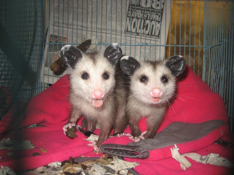 Opossum babies eating poo