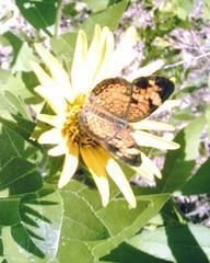 butterfly near Highland park, Lucas, Texas