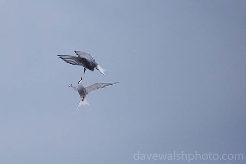 Arctic terns kissing