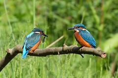 Sibling rivalry (FlyingV99) Tags: bird water river suffolk fishing kingfisher british colourful waveney alcedo atthis