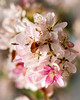 glory (nosha) Tags: pink flowers usa white flower green nature beautiful beauty june garden newjersey spring nikon bokeh nj mercer mercercounty pennington 2010 lightroom penningtonnj nosha natureycrap nikond300 spring2010 15000secatf32