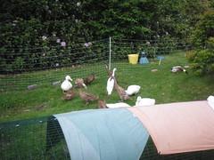 . (S.L.Raines) Tags: house moving pond indian khaki ducks ducklings runners aylesbury campbells eglu olympusmju fostering adopting louiseraines