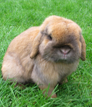rabbit brown lop