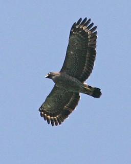 Crested Serpent Eagle (Spilornis cheela bido)