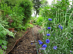 woody path (Shelley & Dave) Tags: garden woodchip cornflowers
