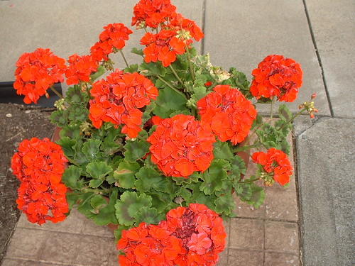 Big geraniums