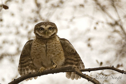 Threat display of Spotted owlet 2