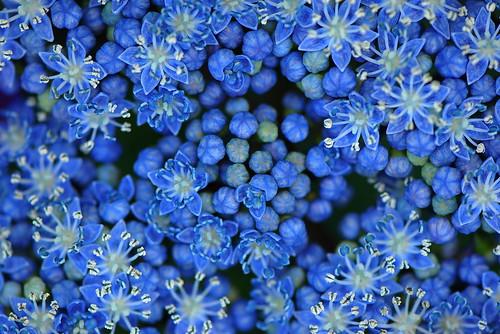 Ajisai Blue