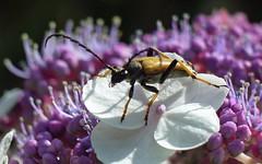 Longhorn Beetle (Stictoleptura Rubra) (sillie_R) Tags: insect beetle longhorn longhornbeetle naturesfinest supershot specinsect jalalspagesnaturealbum stictolepturarubra stictoleptura
