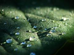 LSD - Light, Shadow, Dew (fathero9) Tags: morning light shadow water leaf drop dew naturesfinest flickrsbest mywinners top20green