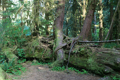 hoh rain forest olympic nat'l parkissa 2