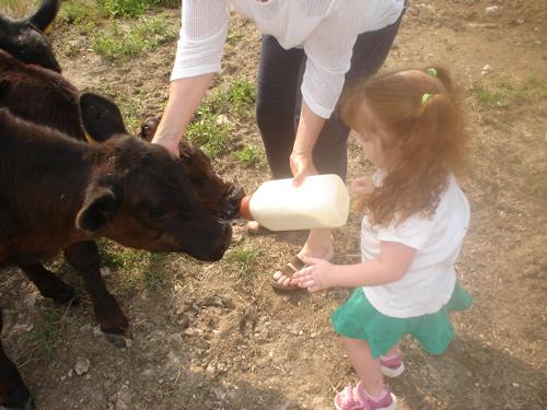 Em feeding cows