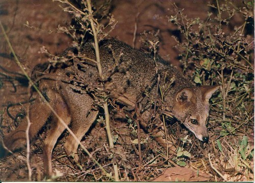 Hoary fox (Pseudalopex vetulus)