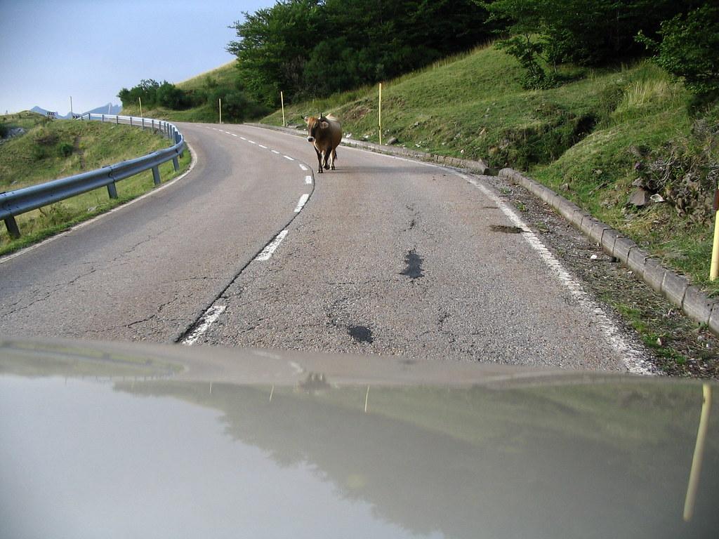 vacas asturianas